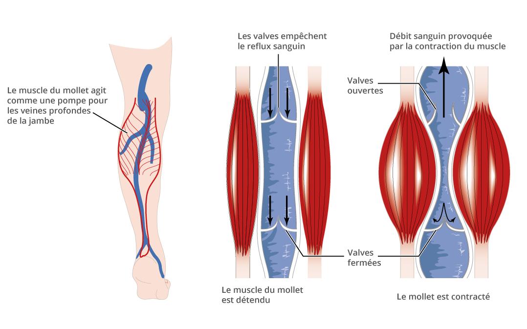 Comment a marche la circulation veineuse - Comment se couper les veines pour mourir ...